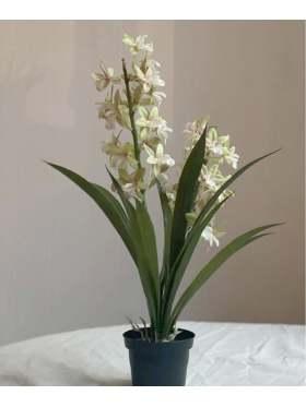 Mr. Plant Cymbidium 45 cm