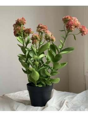 Mr. Plant Kärleksört 55 cm