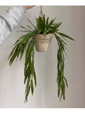 Mr. Plant Rhipsalis 70 cm